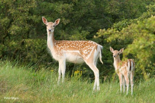 damhert kalf dama dama fallow deer fawn amsterdamse waterleidingduinen Peter Maris natuurfotografie