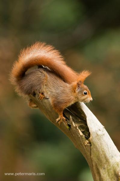 Rode eekhoorn op stam