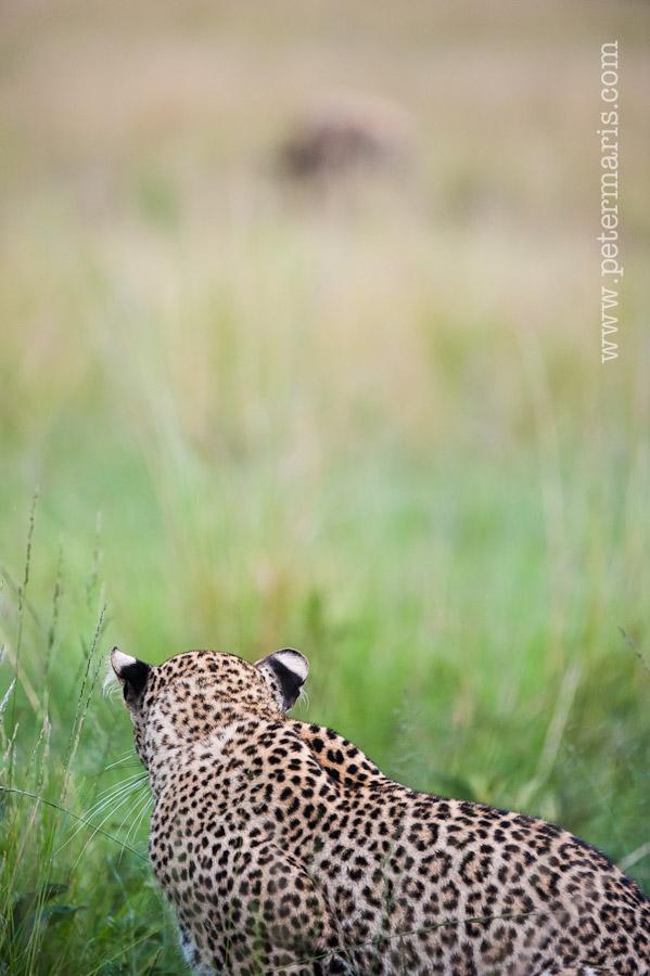 Luipaard (Panthera pardus) besluipt prooi.