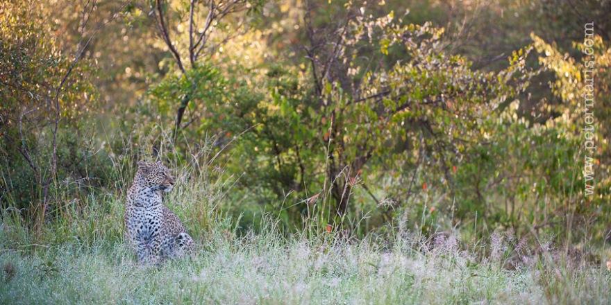 Luipaard (Panthera pardus) zittend in het gras.